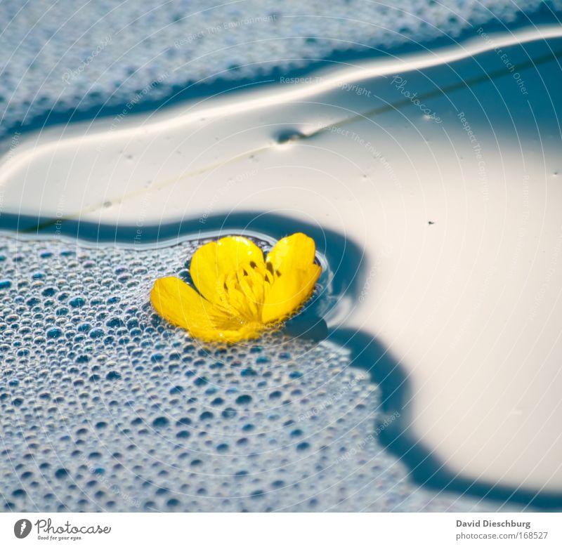 Eine Runde schwimmen Farbfoto Außenaufnahme Detailaufnahme Tag Schatten Kontrast Sonnenlicht Umwelt Natur Pflanze Wasser Sommer Blume Blüte Teich See blau gelb