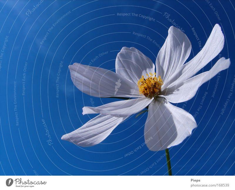 Junisonne tanken Farbfoto Außenaufnahme Makroaufnahme Hintergrund neutral Tag Pflanze Frühling Schönes Wetter Blume Blüte Blühend leuchten Fröhlichkeit weiß