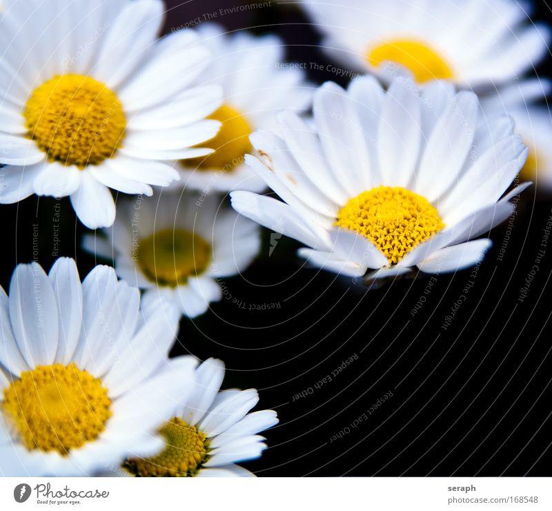 Blümchen weiß Wiese Wachstum wild Blühend Lebewesen Botanik Blütenknospen Pollen Gartenarbeit Blütenblatt pflanzlich Nektar Kräutergarten