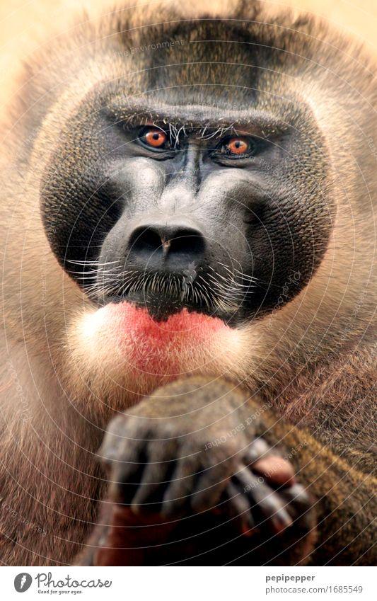 weise Haare & Frisuren Bart Vollbart Behaarung Tier Wildtier Affen 1 elegant Tierporträt Auge Gesicht Nahaufnahme Detailaufnahme Porträt Blick in die Kamera