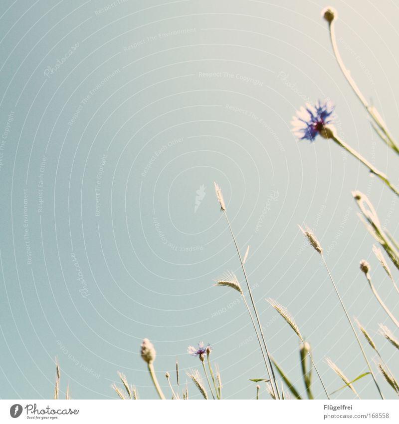 An einem Mohntag im Sommer... Natur blau Pflanze ruhig Blüte träumen frei Schönes Wetter Wolkenloser Himmel altehrwürdig Frühlingsgefühle Kornblume