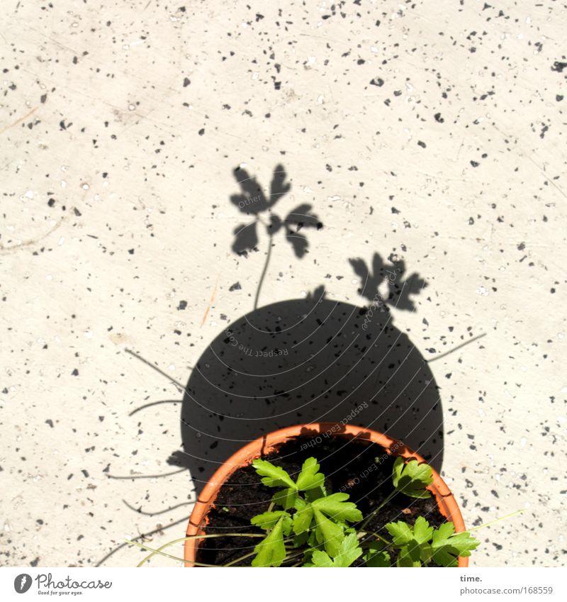 Partielle Topffinsternis mit Publikum grün Spielen gehen Bodenbelag beobachten Weltall Balkon Blumentopf Ton Kräuter & Gewürze Petersilie Blumenerde Tontopf