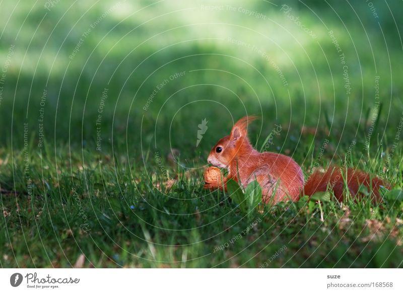 Fastfood Umwelt Natur Landschaft Pflanze Tier Gras Wiese Wildtier Eichhörnchen Nagetiere 1 beobachten Fressen füttern klein natürlich niedlich schön grün rot