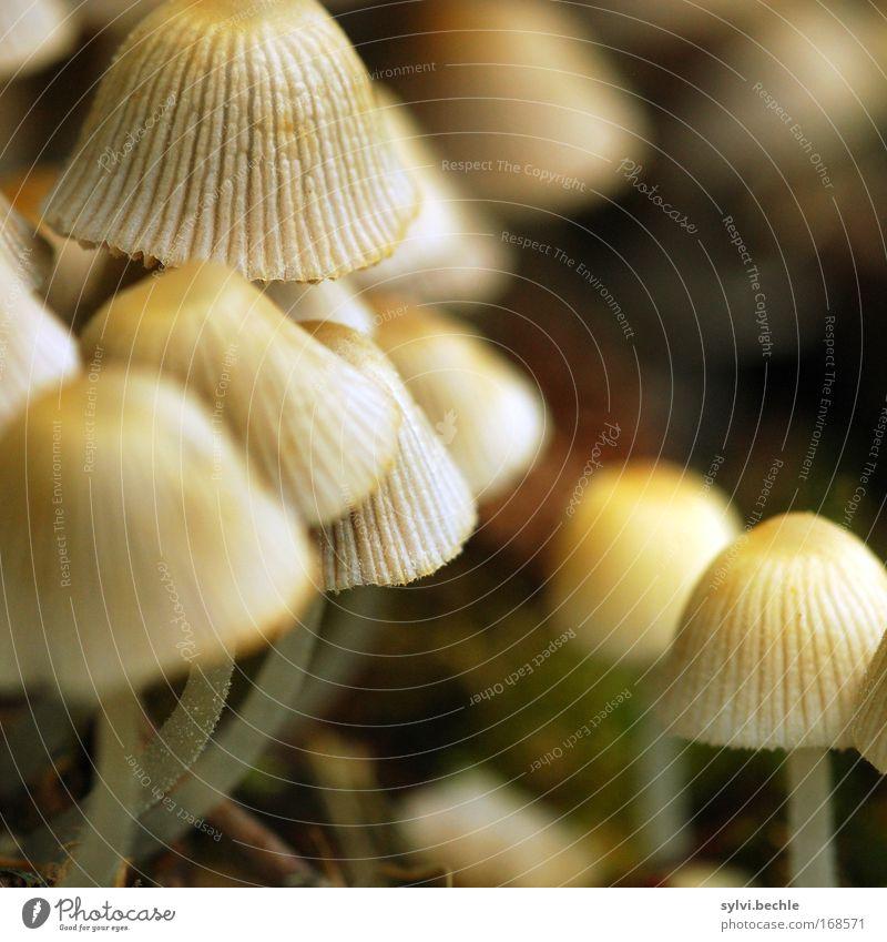 noch´n pils(z)? - III Natur Pflanze Wachstum Pilz Pilzhut Lamelle Ernährung Lebensmittel ungenießbar Gift klein Tintlinge Farbfoto mehrfarbig Außenaufnahme