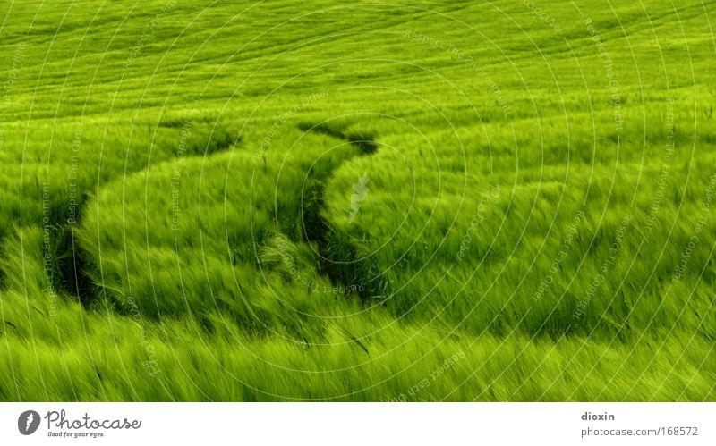 Secale cereale Natur grün Pflanze Landschaft Umwelt Gras Feld Wind Spuren Getreide Kornfeld Bioprodukte Grünpflanze Vegetarische Ernährung Reifenspuren Roggen
