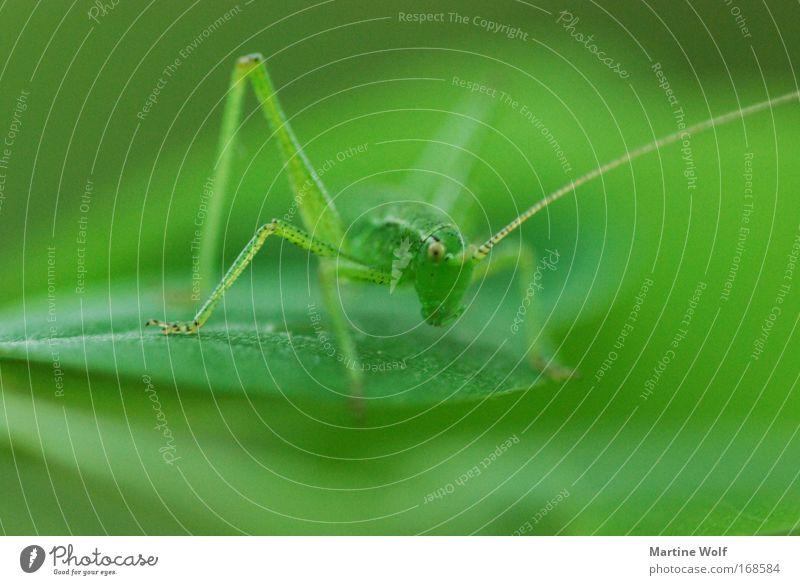 Stierkampf in grün Natur grün Pflanze Farbe Tier Blatt Wildtier warten stehen bedrohlich stark Wachsamkeit kämpfen Aggression gepunktet Fühler