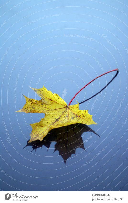 Herbstlaub Natur blau ruhig Blatt gelb Herbst Traurigkeit Trauer ästhetisch Kastanienblatt Komplementärfarbe