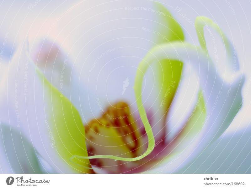 Kringel Nahaufnahme Makroaufnahme Pflanze Blume Orchidee Blüte exotisch Schutz Warmherzigkeit Romantik schön ruhig Idylle Wachstum filigran zart zerbrechlich