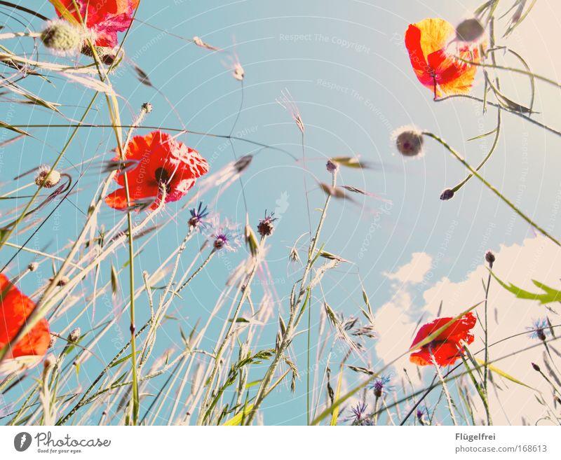 An einem Mohntag im Sommer... II Natur Pflanze Himmel Wolken Sonnenlicht Blüte blau Mohnblüte Kornblume Gras altehrwürdig rot Frühlingsgefühle Farbfoto