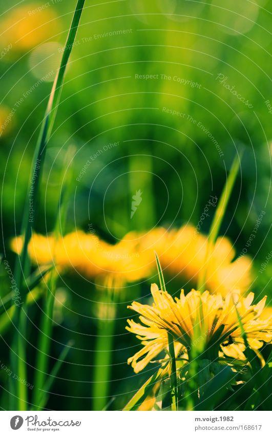 Löwenzahn - Vorsicht bissig Farbfoto Außenaufnahme Nahaufnahme Makroaufnahme Textfreiraum oben Abend Sonnenlicht Starke Tiefenschärfe Natur Pflanze Frühling