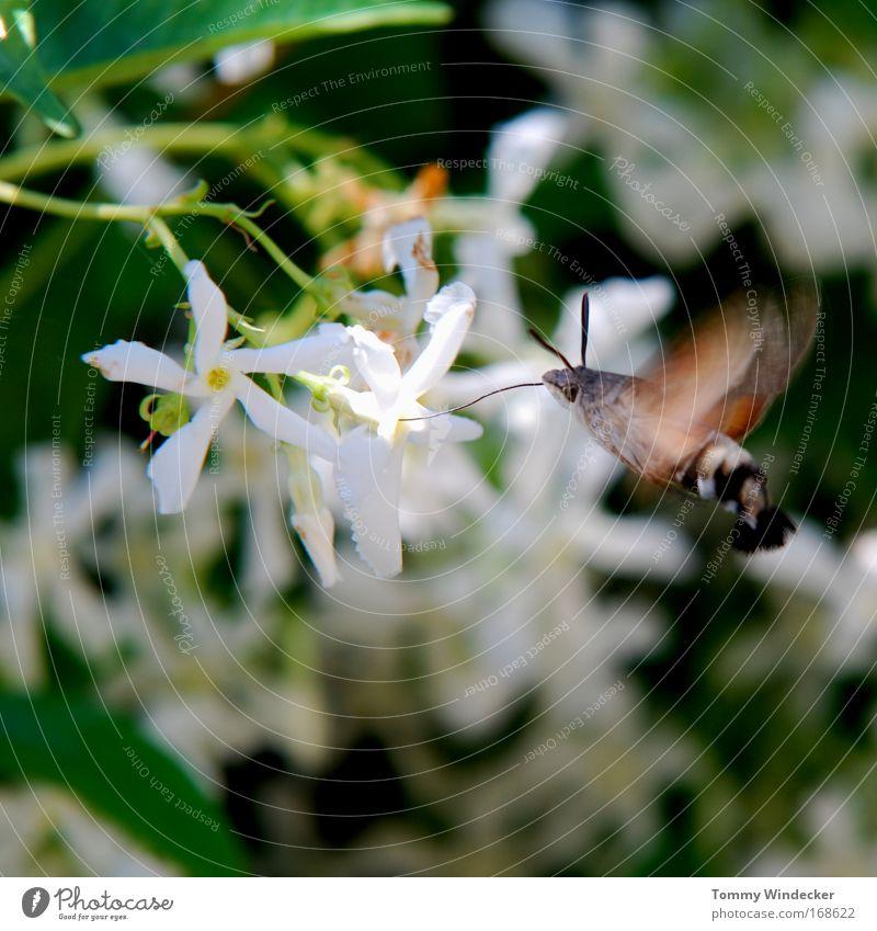 Flattermann Farbfoto Außenaufnahme Sonnenlicht Bewegungsunschärfe Umwelt Natur Pflanze Tier Frühling Sommer Blume Sträucher Wildpflanze Nutztier Schmetterling