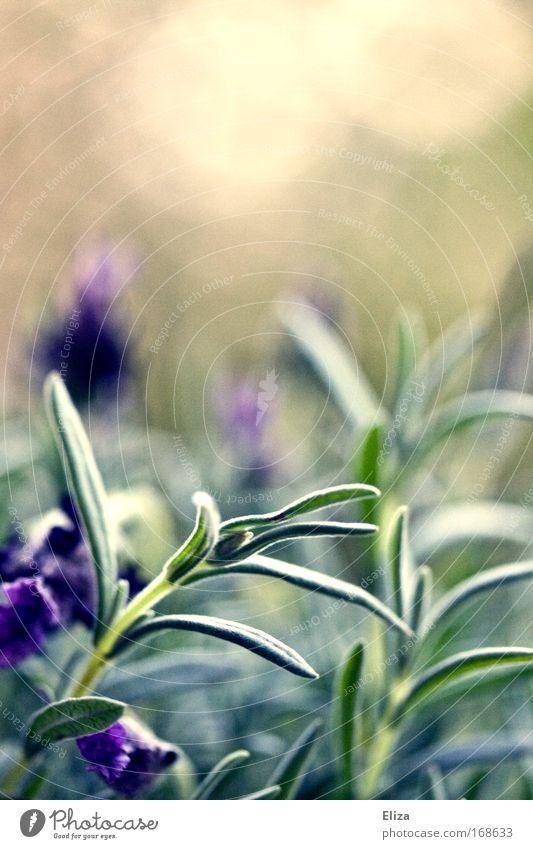 Lavendeltraum Farbfoto Außenaufnahme Textfreiraum oben Sonnenlicht Blüte Nutzpflanze Urwald ästhetisch Erholung wild Kräuter & Gewürze Heilpflanzen leuchten Tag