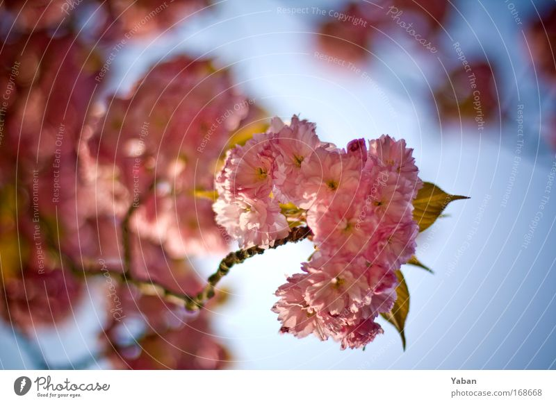 Zierkirsche Natur schön Baum Pflanze Blüte Frühling rosa Umwelt ästhetisch Blühend Duft Kirsche Kirschblüten Kirschbaum