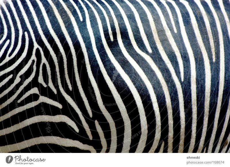 Zebrastreifen Natur weiß schwarz Tier Muster warten dreckig ästhetisch stehen außergewöhnlich Zoo Wildtier füttern