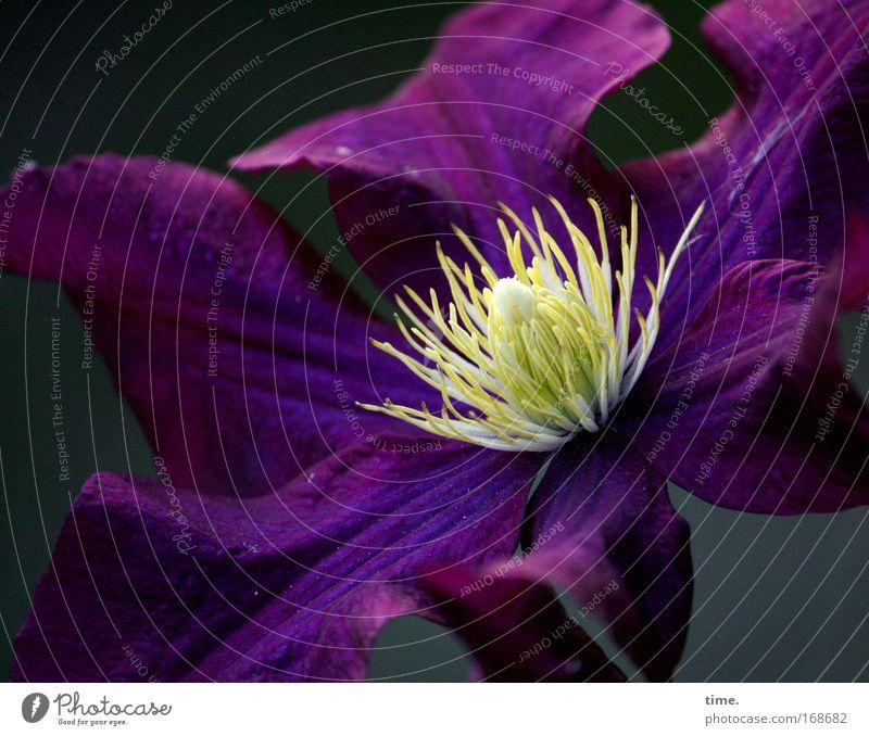 Einladung Blume Pflanze gelb dunkel Blüte violett Konzentration Mittelpunkt prächtig Clematis Aubergine