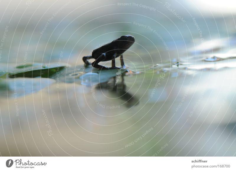 Laufsteg Tier Bewegung See Beine klein gehen Umwelt Neugier entdecken niedlich Frosch Teich Umweltschutz Moor Sumpf Wasseroberfläche