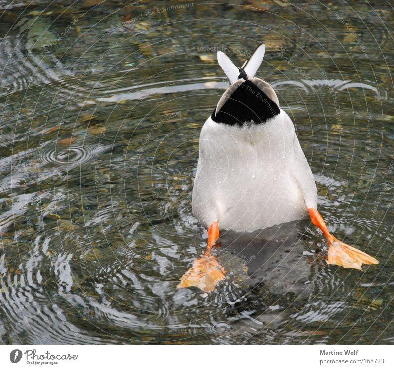 down under tauchen Gesäß Natur Tier Wasser Wildtier Vogel Ente 1 Schwerpunkt Fluss See Schwanz Schwimmhaut Fressen planlos Traurigkeit Im Wasser treiben