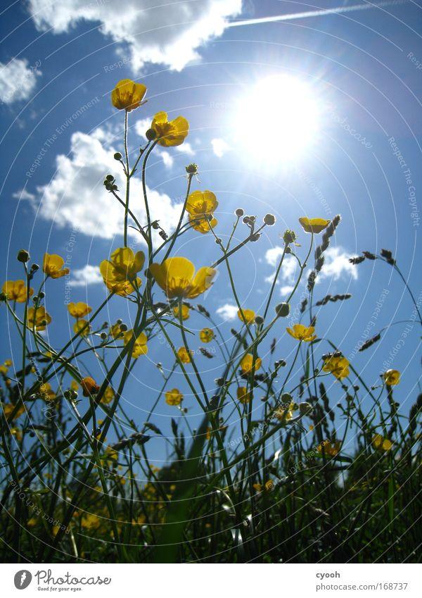 frühlingswetter Sonne Sommer Frühling Hahnenfuß Blume Blumenwiese Wiese Feld gelb blau grün Wolken Glück Wachstum Blühend Nahaufnahme Froschperspektive Natur