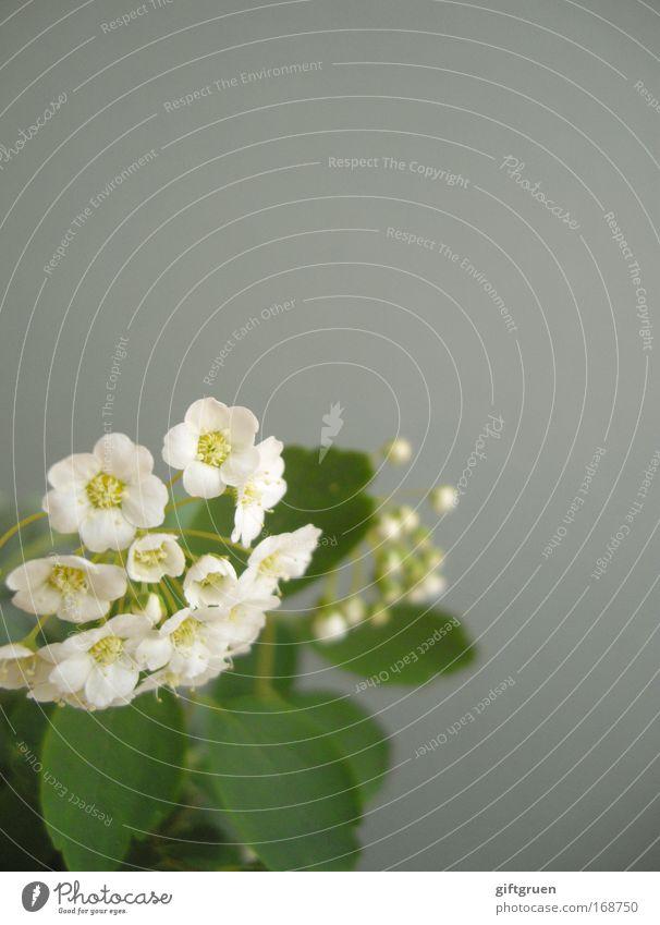 unobtrusive Farbfoto Menschenleer Textfreiraum oben Schwache Tiefenschärfe Umwelt Pflanze Frühling Sommer Blume Sträucher Blüte Blühend Wachstum Duft grau grün