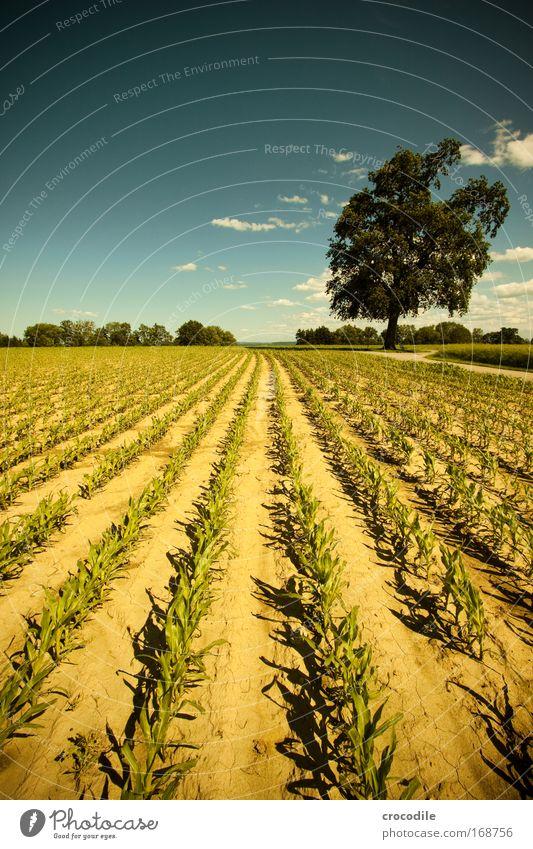 Maisfeld Himmel Natur blau grün Baum Pflanze Sonne Sommer Freude Wolken Umwelt Landschaft gelb Gefühle Frühling Luft