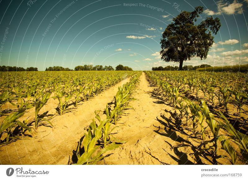 Maisfeld III Farbfoto Außenaufnahme Menschenleer Sonnenlicht Starke Tiefenschärfe Zentralperspektive Weitwinkel Landwirtschaft Umwelt Natur Landschaft Pflanze