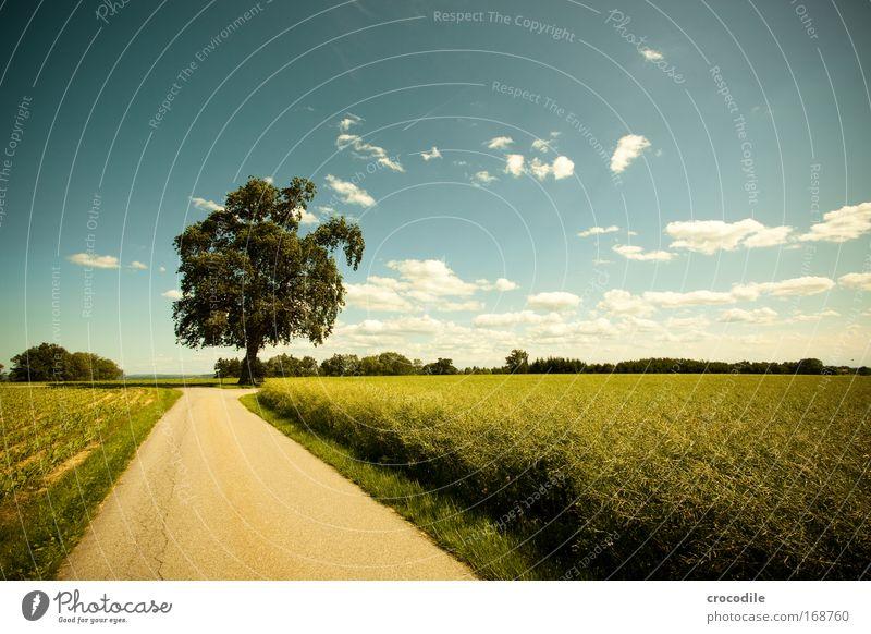 Maisfeld IV Farbfoto Außenaufnahme Menschenleer Sonnenlicht Starke Tiefenschärfe Zentralperspektive Weitwinkel Landwirtschaft Umwelt Natur Landschaft Pflanze
