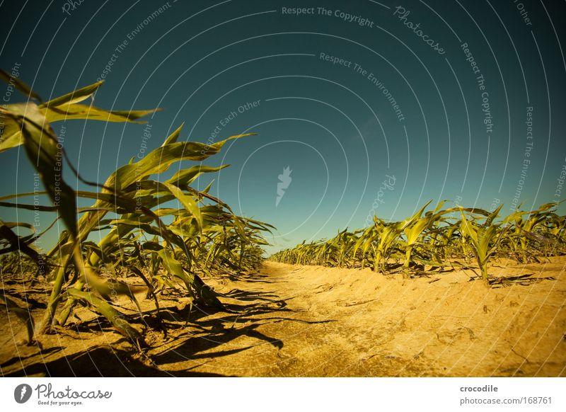 Maisfeld V Farbfoto Außenaufnahme Menschenleer Sonnenlicht Starke Tiefenschärfe Zentralperspektive Weitwinkel Landwirtschaft Umwelt Natur Landschaft Pflanze