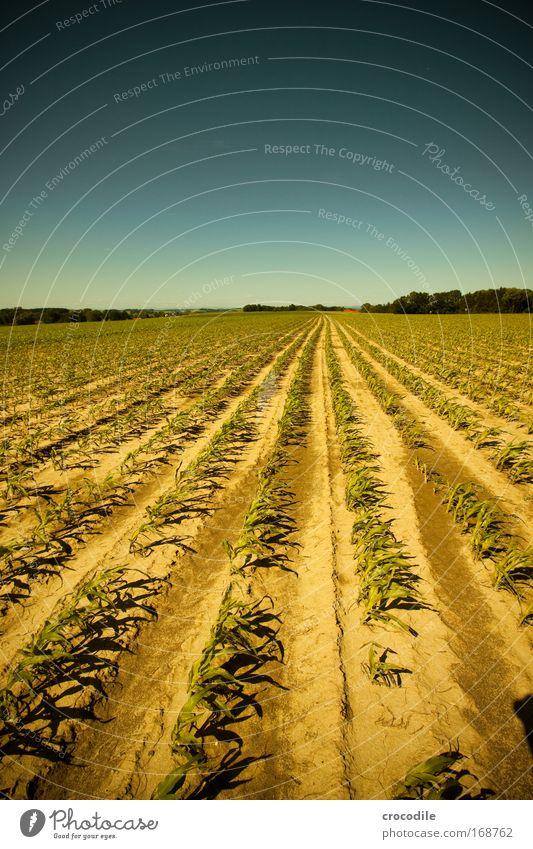 Maisfeld VI Natur Himmel Sonne Pflanze Sommer Wolken Frühling Landschaft Luft Feld Wetter Umwelt Erde ästhetisch Landwirtschaft