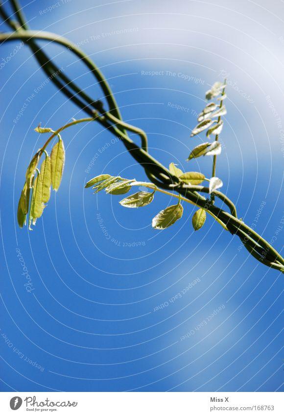 Schlinge Außenaufnahme Detailaufnahme Menschenleer Natur Pflanze Schönes Wetter exotisch verblüht dehydrieren Wachstum ästhetisch Schlaufe Trieb Ast Tag