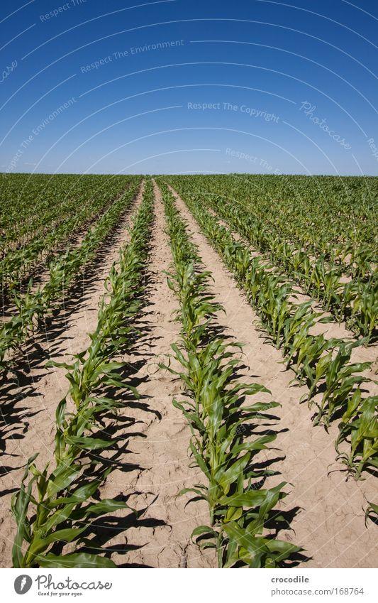Maisfeld VII Farbfoto Außenaufnahme Menschenleer Sonnenlicht Starke Tiefenschärfe Zentralperspektive Weitwinkel Landwirtschaft Umwelt Natur Landschaft Pflanze