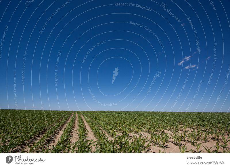 Maisfeld X Farbfoto Außenaufnahme Menschenleer Sonnenlicht Starke Tiefenschärfe Zentralperspektive Weitwinkel Landwirtschaft Umwelt Natur Landschaft Pflanze
