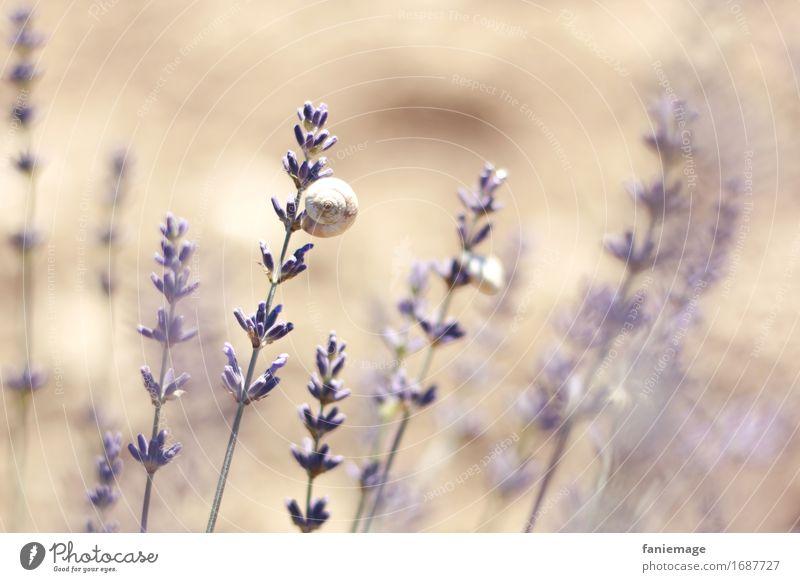 Lavendelschnecke Umwelt Natur Erde Schönes Wetter heiß hell Lavendelfeld Schnecke violett Wärme Südfrankreich Provence Duft Romantik hellbraun Zweig Blüte