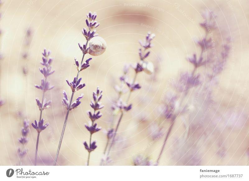 dasselbe in lila... Natur Pflanze Sommer schön Wärme hell rosa träumen Blühend Romantik violett Duft Schnecke sommerlich Lavendel fein