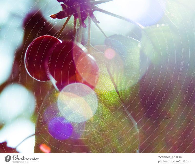 Kirschensommer Farbfoto mehrfarbig Detailaufnahme Morgen Morgendämmerung Tag Licht Reflexion & Spiegelung Lichterscheinung Sonnenlicht Sonnenstrahlen Gegenlicht