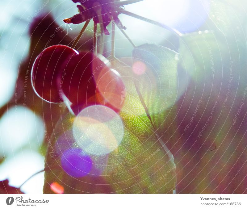 Kirschensommer Natur Pflanze grün Sommer Sonne rot Umwelt Frühling natürlich Gesundheit Gegenlicht Lebensmittel Park Frucht Wachstum frisch