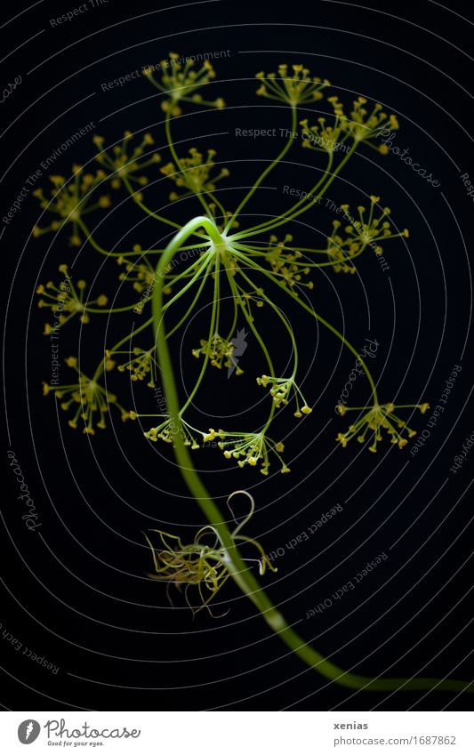 Dill vor schwarzem Hintergrund Lebensmittel Kräuter & Gewürze Ernährung grün Dillblüten Studioaufnahme Neutraler Hintergrund Bioprodukte Gesunde Ernährung