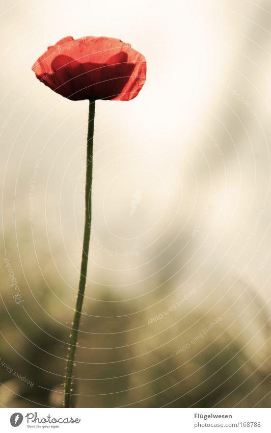 Mohni ist allein ;-( Blume Pflanze Einsamkeit Wiese Denken Feld warten glänzend Wachstum trist Unendlichkeit Sehnsucht natürlich Schmerz Blühend Mohn