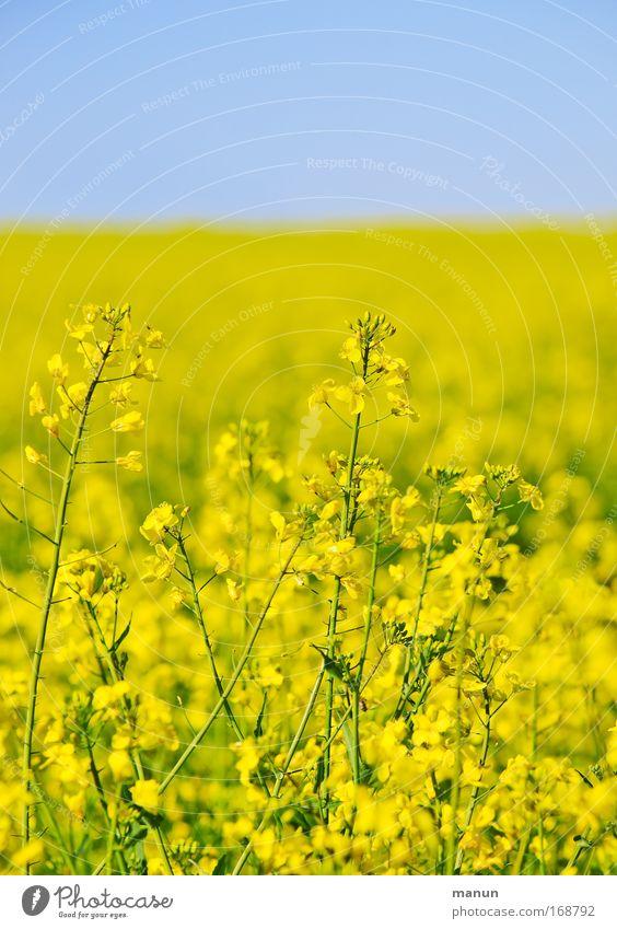 Auf Augenhöhe Natur Pflanze Sommer Farbe gelb Umwelt Landschaft Frühling Feld Energiewirtschaft Wachstum Schönes Wetter ökologisch Biologische Landwirtschaft Wolkenloser Himmel Raps