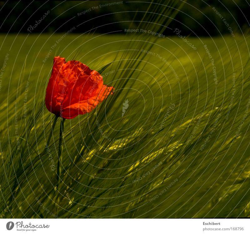 Schlecht getarnt 2 schön Blume grün Pflanze rot ruhig Einsamkeit gelb Erholung Frühling Feld Fröhlichkeit ästhetisch Wachstum Freizeit & Hobby