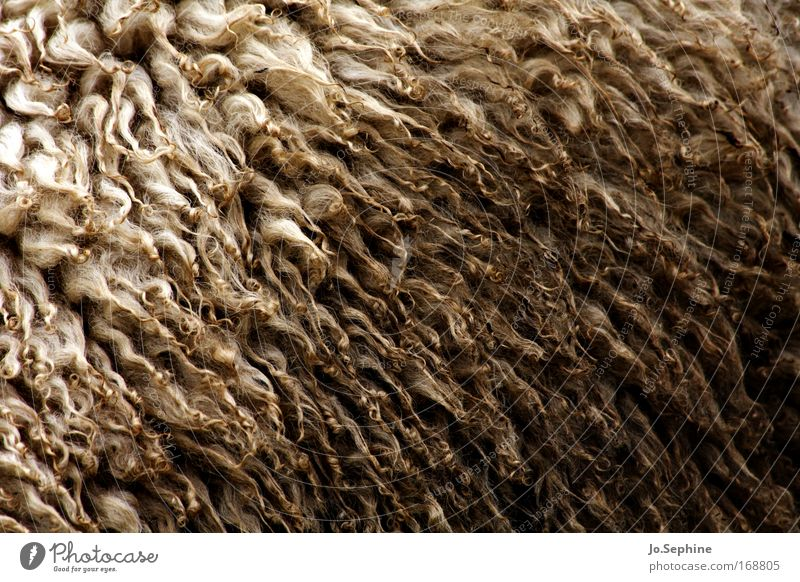 Frau Wolle Natur Tier weich Landwirtschaft Fell nah Haustier Schaf eng Säugetier Biologische Landwirtschaft Nutztier üppig (Wuchs) Strukturen & Formen