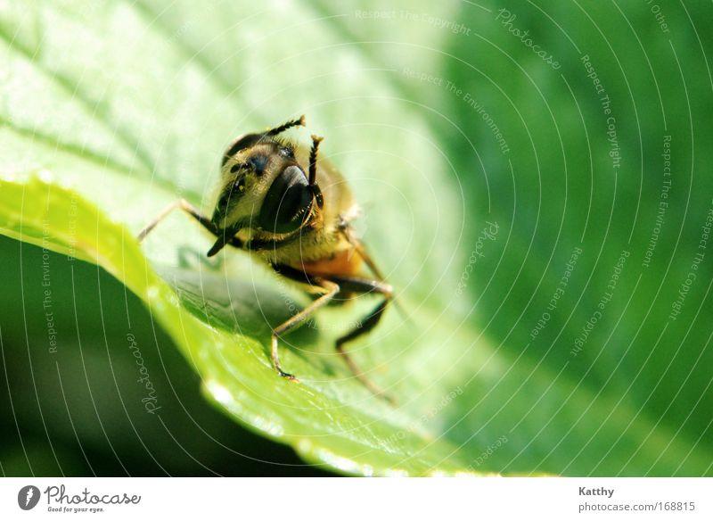 Biene bei der Körperpflege grün Pflanze Blatt Tier schwarz gelb klein braun Zufriedenheit Reinigen Sauberkeit Tiergesicht nah Insekt Grünpflanze