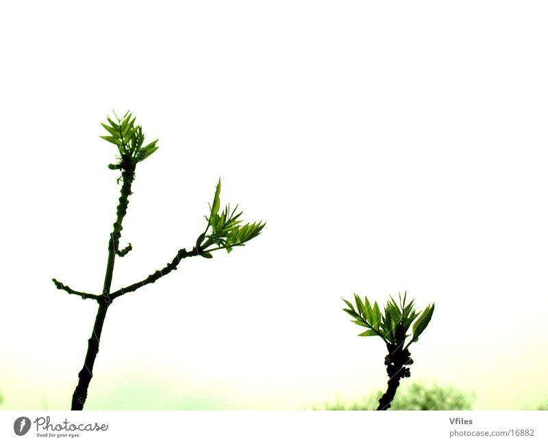 Baumknospen Natur Blütenknospen