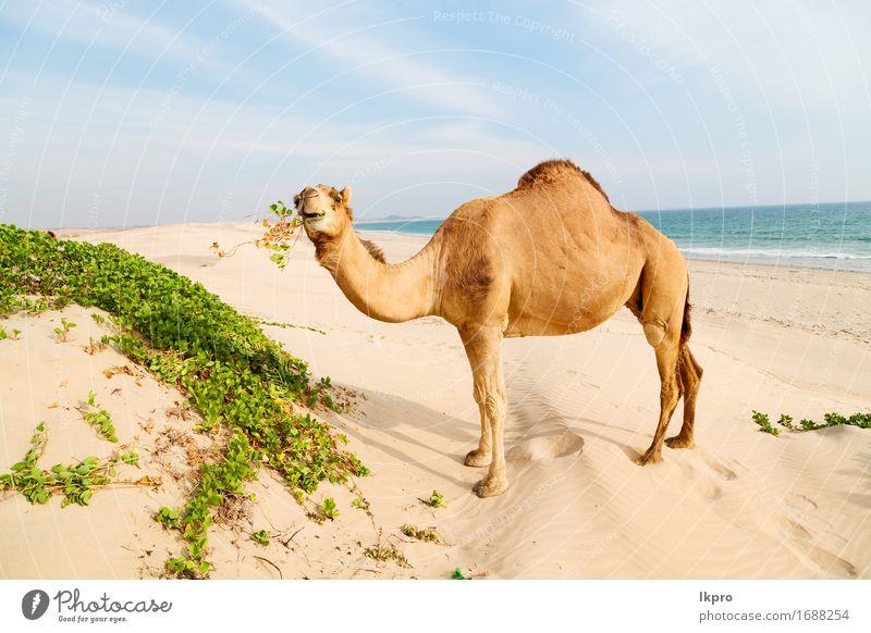 Wüste ein freies Dromedar in der Nähe des Meeres Ferien & Urlaub & Reisen Safari Sommer Strand Natur Pflanze Tier Sand Himmel heiß wild braun grau schwarz weiß