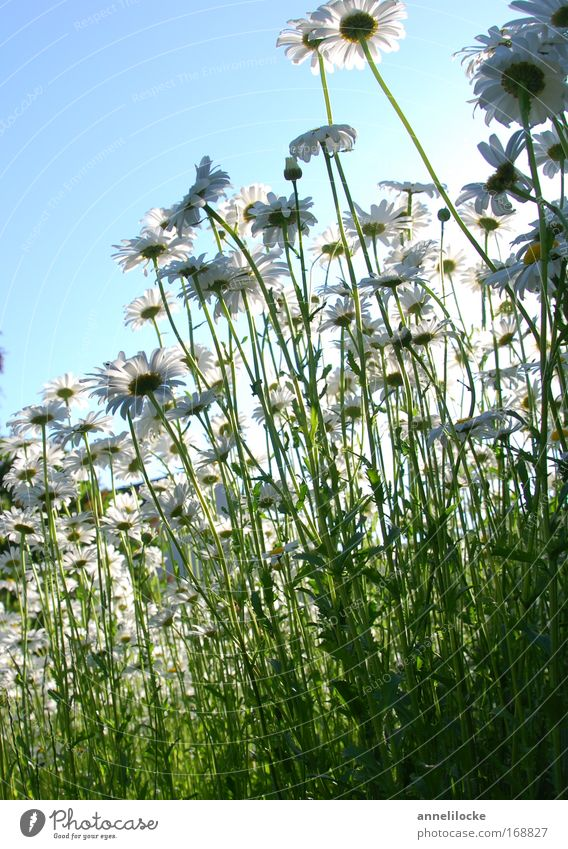 Margeritenwiese Außenaufnahme Hintergrund neutral Tag Gegenlicht Froschperspektive Natur Pflanze Himmel Sonne Sommer Schönes Wetter Blume Blüte Wildpflanze Park
