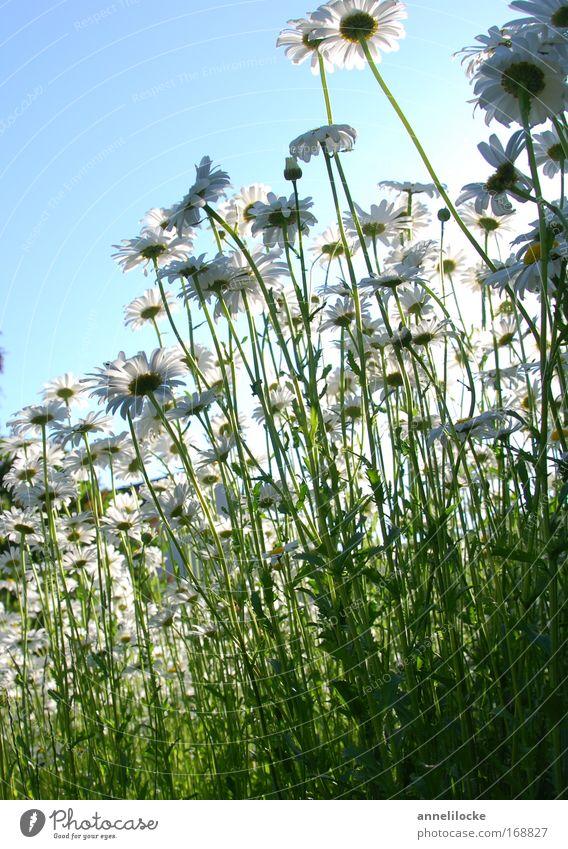 Margeritenwiese Natur schön Himmel weiß Sonne Blume grün blau Pflanze Sommer Freude Wiese Blüte Park frisch Fröhlichkeit