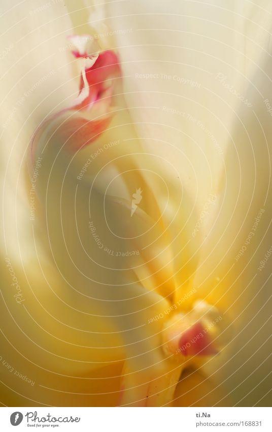 zart und zerbrechlich Teil II Farbfoto Außenaufnahme Makroaufnahme Strukturen & Formen Tag Erholung Kunstwerk Umwelt Natur Frühling Pflanze Rose Blüte