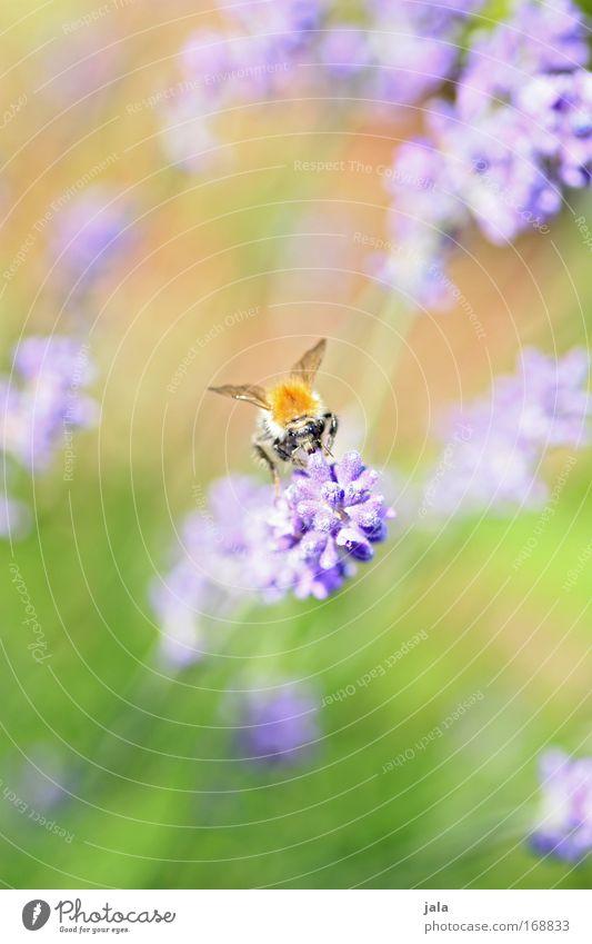 Sum, Sum, Sum... Farbfoto Außenaufnahme Nahaufnahme Tag Starke Tiefenschärfe Tierporträt Natur Pflanze Schönes Wetter Blume Blüte Park Wiese Wildtier Biene