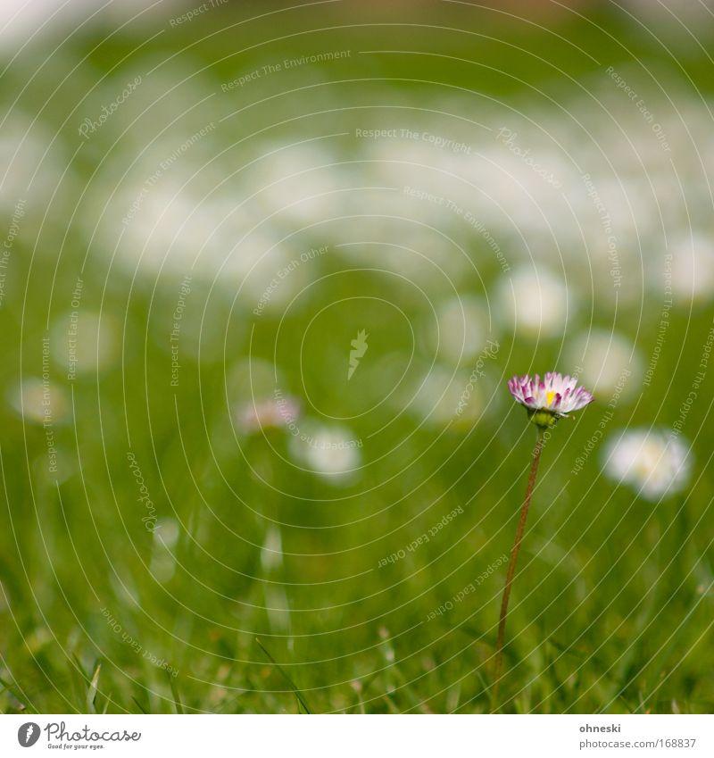 Allein Natur Blume grün Pflanze Sommer Einsamkeit Leben Wiese Gras frisch Hoffnung Kitsch einzigartig Idylle Gänseblümchen standhaft