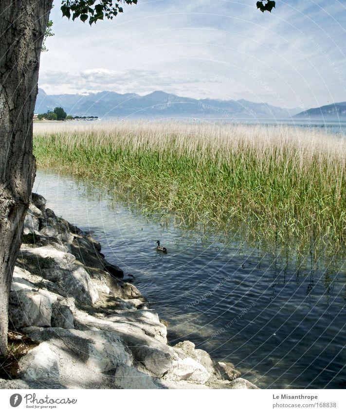 Helden Duck, Geheimnis Duck Himmel Natur Wasser blau grün Baum Wolken ruhig Tier Erholung Landschaft klein träumen See Zufriedenheit Kraft