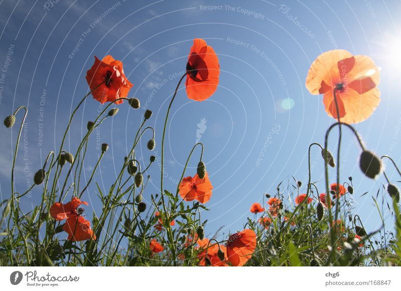 Mohnblumen der Sonne entgegen.... Natur Himmel Sonne Blume grün blau Pflanze rot Sommer schwarz Mohn Farbe Wiese Gefühle Blüte Gras